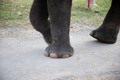 Pieds d'éléphant avec des chaînes dans le mouvement image libre de droits