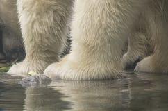 Pieds d'ours blanc Images libres de droits