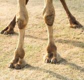 Pieds d'un chameau Image stock