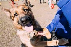 Pieds de Dog Near Woman de berger allemand de Brown Alsacien Wolf Dog photo stock