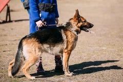 Pieds de Dog Near Woman de berger allemand de Brown Alsacien Wolf Dog photo libre de droits