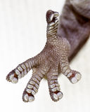 Pieds de gecko photo stock