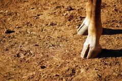pieds de giraffe Image libre de droits