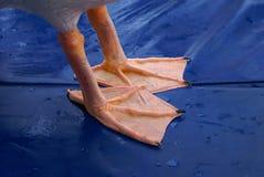 Pieds de pélican Image stock