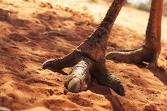 Pieds et griffes d'un émeu australien Image stock