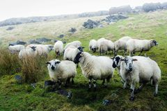 Pieds et inscriptions de noir de moutons blancs Photographie stock libre de droits
