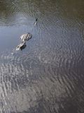 7 pieds intégraux de crocodile sauvage dans l'eau Photos libres de droits