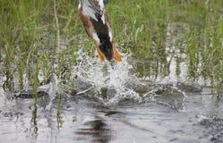 Pieds palmés de canard Photographie stock