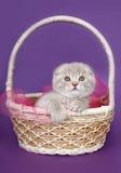 Pieghi il gattino in un cestino. Fotografie Stock
