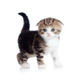 Pieghi il gatto scozzese del bambino un mese Fotografia Stock Libera da Diritti