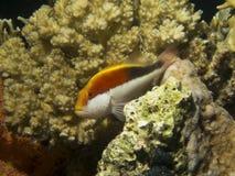 Piegowaci hawkfish odpoczywa w koralu obraz royalty free