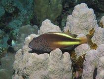 Piegowaci hawkfish, Paracirrhites forsteri przegląda krajobraz fotografia royalty free