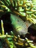 piegowaty hawkfish obrazy royalty free