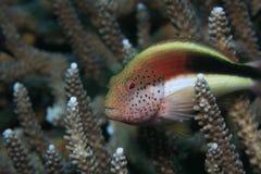 piegowaty hawkfish fotografia stock