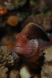 Piegowaty hawkfish portret zdjęcia royalty free