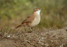 Piekarnika ptasi Krajowy ptak Obraz Stock