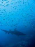 Pielęgniarka popielaty rekin i mała ryba; Australia Zdjęcie Royalty Free
