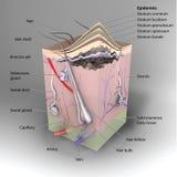 piel 3D stock de ilustración