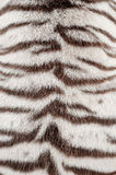 Piel blanca del tigre de Bengala Fotografía de archivo