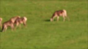 Piel de ciervo que pasta en el bosque en la rodera metrajes