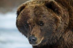 Piel de la cara del oso Foto de archivo