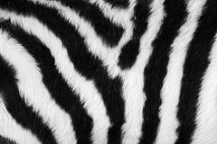 Piel de la cebra Imagen de archivo libre de regalías