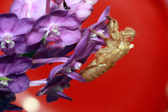 Piel de la cigarra Foto de archivo libre de regalías