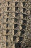 Piel de la cola del cocodrilo foto de archivo libre de regalías