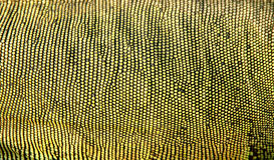 Piel de la iguana Foto de archivo libre de regalías