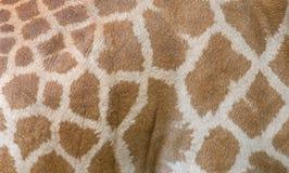 Piel de la jirafa Fotografía de archivo libre de regalías