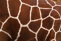 Piel de la jirafa Fotos de archivo libres de regalías