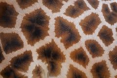 Piel de la jirafa con el modelo Imagen de archivo libre de regalías