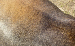 Piel de los ciervos Foto de archivo libre de regalías