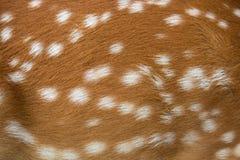 Piel de los ciervos de Brown Imagen de archivo libre de regalías