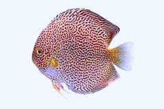 Piel de los snaks de los pescados del disco Fotos de archivo libres de regalías