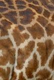 Piel de Mara Giraffe del Masai, en safari, en Kenia, África imagen de archivo libre de regalías