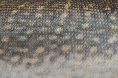 Piel de Pike Foto de archivo libre de regalías