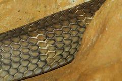 piel de serpiente de la cobra real Fotografía de archivo libre de regalías