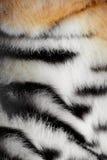 Piel de un tigre Foto de archivo libre de regalías