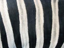 Piel de una cebra Imágenes de archivo libres de regalías