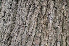 Piel del árbol fotografía de archivo libre de regalías