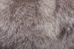 Piel del azul del Fox Fotos de archivo