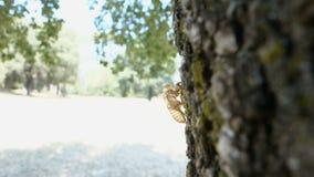Piel del Cicadidae de la cigarra que se aferra en una corteza de árbol almacen de metraje de vídeo