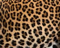 Piel del detalle del leopardo fotografía de archivo libre de regalías