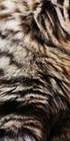 Piel del gato Fotografía de archivo