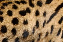 Piel del leopardo foto de archivo libre de regalías