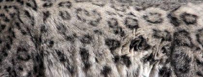 Piel del leopardo de nieve fotografía de archivo libre de regalías