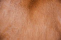 Piel del pelo de la vaca Imagen de archivo