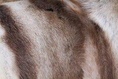 Piel del reno Foto de archivo