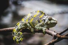 Piel escamosa del lagarto que descansa en el sol Fotos de archivo libres de regalías